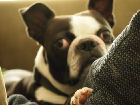 Photo, Boston Terrier, Chunyo's Corner